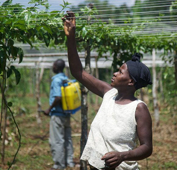 En kvinna som ingår i projektet A working future i Uganda kontrollerar grödorna.
